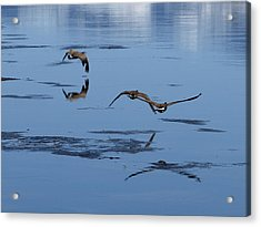 Reflecting Geese Acrylic Print