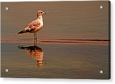 Reflecting Gull Acrylic Print