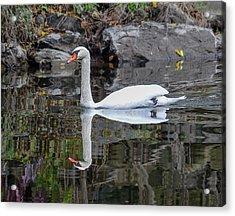 Reflecting Mute Swan Acrylic Print