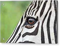 Reflection In A Zebra Eye Acrylic Print