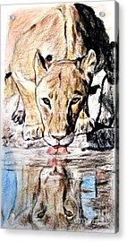 Reflection Of A Lioness Drinking From A Watering Hole Acrylic Print by Jim Fitzpatrick