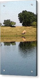 Reflective Cow Acrylic Print by Donna G Smith
