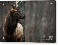 Regal Acrylic Print by Andrea Silies