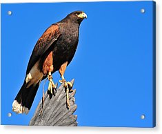 Regal Hawk Acrylic Print