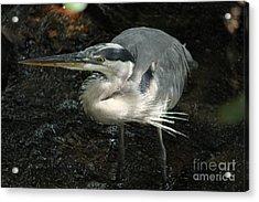 Regal Heron Acrylic Print by Theresa Willingham