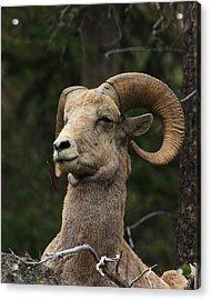 Regal Ram Acrylic Print