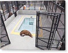 Rehabilitated Sea Lion Acrylic Print by Inga Spence