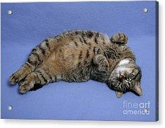 Relaxed, Sleepy Cat Acrylic Print by Jean-Louis Klein & Marie-Luce Hubert