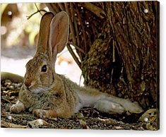 Relaxing Cottontail Acrylic Print