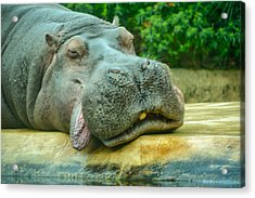 Relaxing Hippo Acrylic Print