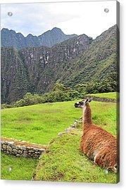 Relaxing Llama In Machu Picchu Acrylic Print
