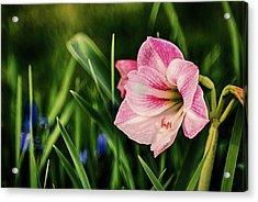 Remembering Amaryllis Acrylic Print