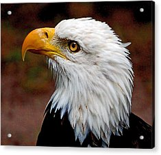 Reminiscent Bald Eagle Acrylic Print by Donna Proctor