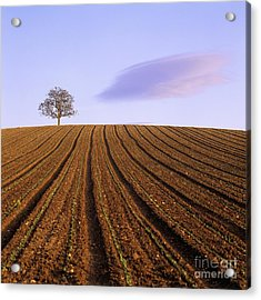 Remote Tree In A Ploughed Field Acrylic Print by Bernard Jaubert
