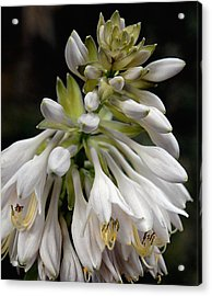 Renaissance Lily Acrylic Print by Marie Hicks