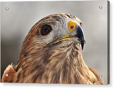 Rescued Hawk Acrylic Print