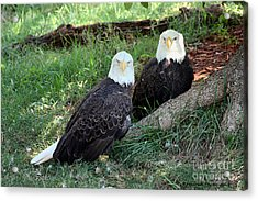 Resting Bald Eagles Acrylic Print