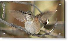 Resting Humming Bird Acrylic Print
