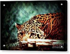 Resting Jaguar Acrylic Print