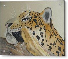 Resting Leopard Acrylic Print by Debbie Payne