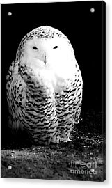 Resting Snowy Owl Acrylic Print by Darcy Michaelchuk