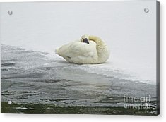 Resting Swan-signed-#1314 Acrylic Print by J L Woody Wooden