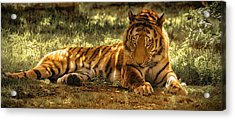 Acrylic Print featuring the photograph Resting Tiger by Chris Boulton