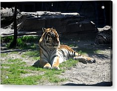 Acrylic Print featuring the photograph Resting Tiger by John Black