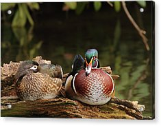 Resting Wood Ducks Acrylic Print