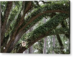 Resurrection Fern On Live Oak Branches Acrylic Print by Carol Groenen