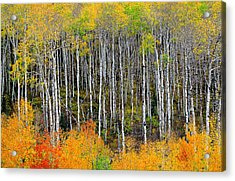 Return To The Aspen Forest Acrylic Print by Tim Reaves