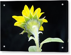 Acrylic Print featuring the photograph Reverse Sunflower by Richard Ricci