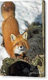 Acrylic Print featuring the photograph Reynard The Fox by Nina Stavlund