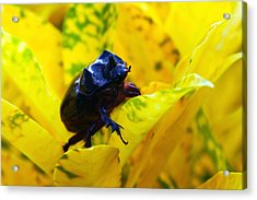 Rhino Beetle Acrylic Print by Evelyn Patrick
