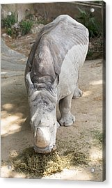 Rhino Eats Hay  Acrylic Print