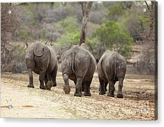 Rhino Trio Acrylic Print by Jane Rix