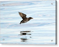 Rhinoceros Auklet Reflection Acrylic Print by Mike Dawson