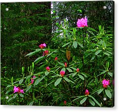 Rhodies In The Redwoods Acrylic Print by Tom Kidd