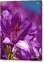 Rhododendron  Acrylic Print by Baggieoldboy