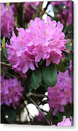 Rhododendron Beauty Acrylic Print