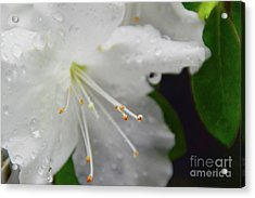 Rhododendron Blossom Acrylic Print