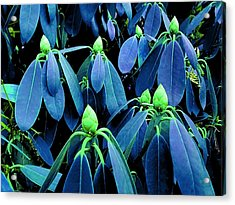 Rhododendron Buds In Spring Acrylic Print