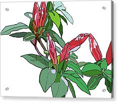 Rhododendron Buds Acrylic Print