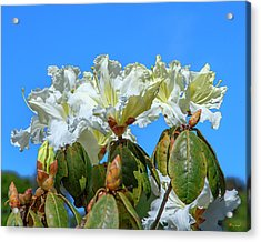 Rhododendron Ciliicalyx Dthn0213 Acrylic Print