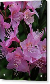 Rhododendron In The Pink Acrylic Print by Laddie Halupa