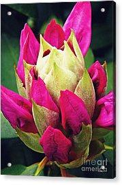 Rhododendron Velvet    Acrylic Print by Sarah Loft