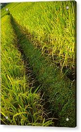Rice Field Hiking Acrylic Print