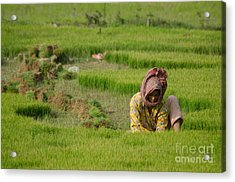 Rice Field Worker Harvests Rice In Green Field In Southeast Asia Acrylic Print