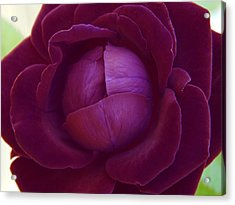 Rich Purple Lettuce Rose Acrylic Print