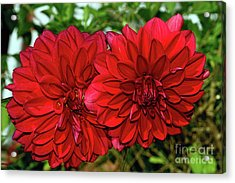 Acrylic Print featuring the photograph Rich Red Dahlias By Kaye Menner by Kaye Menner